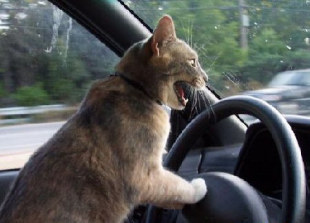 http://wfriends.files.wordpress.com/2010/03/silly-cat-driving-car-cartoon-drawing.jpg